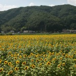 japan_sunflower_13