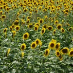 japan_sunflower_14