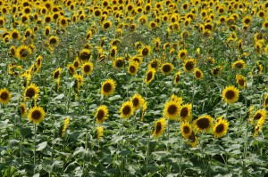 japan_sunflower_14