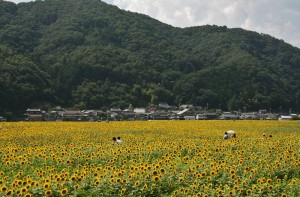 japan_sunflower_16