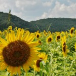 japan_sunflower_17