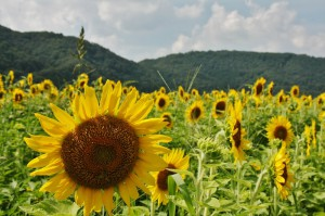 japan_sunflower_17