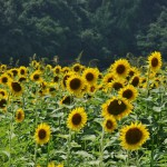 japan_sunflower_18