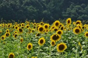 japan_sunflower_18