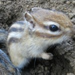 japan_squirrel_gardens_14