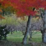 На заднем плане видна рощица сакур. Слева куст - камелия цветет