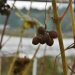 """Это для очень специального сорта вина, который делается вот из таких подсушенно-заплесневевших ягод. Плесень там не простая, а очень хитрозаковыристая, так называемая """"благородная"""". Далеко не каждый год погодные условия позволяют добиться такого вот равномерного плесневения. Как нам сказали, последний раз такое в Тамбе смогли сделать пять лет назад. По-японски это вино называется """"кифу-вайн"""" 貴腐ワイン. Европейские аналоги - токайское и сотерн"""