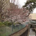 japan_sakura_hirakata_01