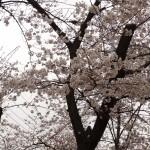 japan_sakura_hirakata_02