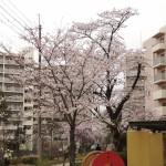 japan_sakura_hirakata_03