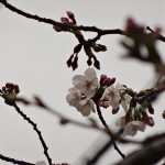 japan_sakura_hirakata_04