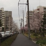 japan_sakura_hirakata_05