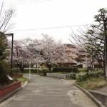 japan_sakura_hirakata_06
