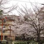 japan_sakura_hirakata_08