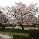 japan_sakura_hirakata_11