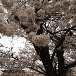 japan_sakura_hirakata_13