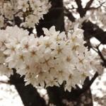 japan_sakura_hirakata_14