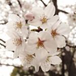 japan_sakura_hirakata_16