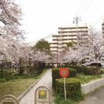 japan_sakura_hirakata_18