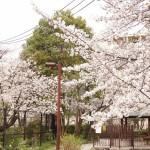 japan_sakura_hirakata_19