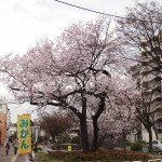 japan_sakura_hirakata_21