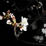 japan_sakura_hirakata_22