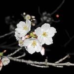 japan_sakura_hirakata_24