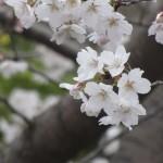 japan_sakura_hirakata_25