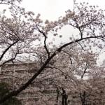 japan_sakura_hirakata_30
