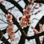 japan_ume_2014_22
