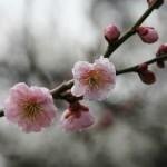 japan_ume_2014_29