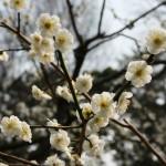 japan_ume_2014_30