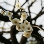 japan_ume_2014_31