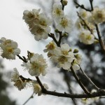 japan_ume_2014_49
