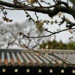 japan_ume_2014_50