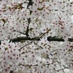 """Сакура там """"классическая"""", нежно-белая с розовым"""