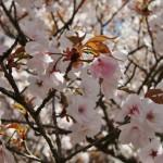 japan_hanami_2014_19