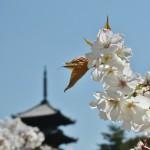 japan_hanami_2014_44