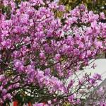 Это какой-то вид ранне-цветущей азалии