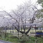 japan_sakura_osaka_07