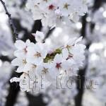 japan_sakura_osaka_09