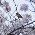 japan_sakura_osaka_10