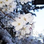 japan_sakura_osaka_11