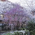 japan_sakura_osaka_12