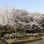 japan_sakura_osaka_13