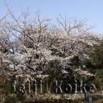 japan_sakura_osaka_15