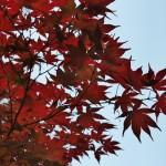 """Это не осень. Это сорт такой, """"от рождения"""" красный"""