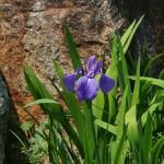 """Это ирис. Конкретно этот вид называется по-японски """"аямэ"""", а по-научному - Iris sanguinea"""