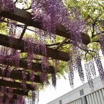 japan_wistaria_04