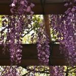 japan_wistaria_05